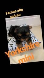 Yorkshire mini