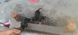 Cachorros da raça salsicha