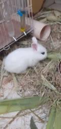 R$100,00 filhote de mini coelho.