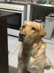Labrador a procura de uma namorada