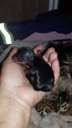 Filhotes Casalzinho de york shire terrier