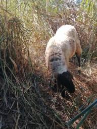 Vendo um carneiro macho inteiro