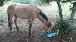 Cavalo crioulo castrado marcado