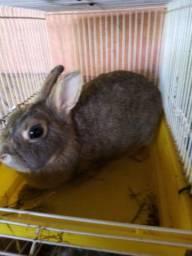 Vendo coelhas neter prenhas previsão 14 de janeiro urgente