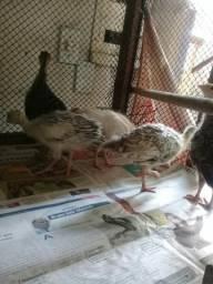 Vendo filhotes de perú lindos e saudasvéis com 1 mê