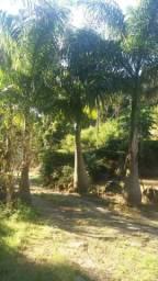 Vendo palmeira
