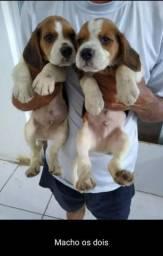 Beagle fofos 2 meses