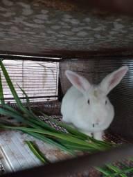 Vendo 3 fêmeas de coelhos adulto por R$ 90 ,00 reais cada um tratar *