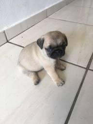 Pug fêmea disponível para reservar , parcelo em até 12 x
