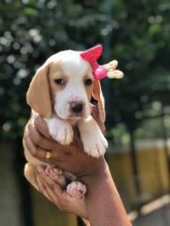 Venha hoje conhecer seu filhote fêmea de beagle