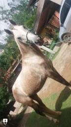 Vendo cavalo 7 anos manso marcha picada