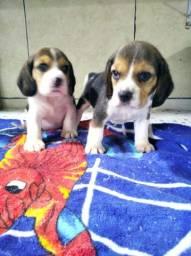 Lindos beagles macho