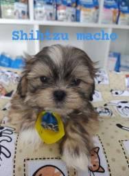 Lindos Shihtzu baby face