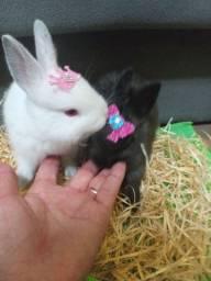 Mini coelhos da raça Netherland