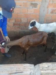 Bodes e carneiros