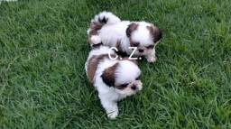 Shih Tzu Pronta para entrega - pedigree