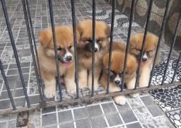 Belíssimos filhotes de Akita inu com pedigree