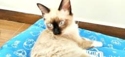 Irmãos gatinhos para adoção em Santos