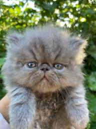 Gatos persas disponíveis, fucinho super achatado!