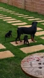 Rottweiler filhotes cabeça de touro 50 dias