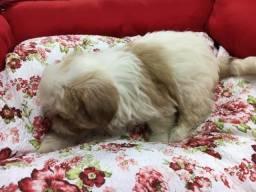 Shih Tzu cães apegado aos donos e carinhosos