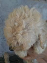 Vendo filho de poodle 400.00 macho 3 pra 4 meses