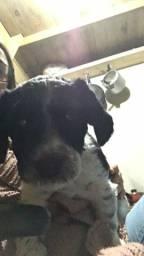 Vende-se Filhote de Lhasa Apso com Jack Russel Terrier
