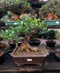 Bonsai Fícus retusa
