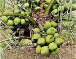 Rei do coco