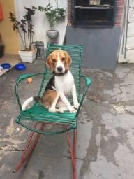 Beagle procura-se namorada