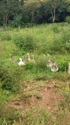 Casal gansos africanos sinaleiro