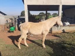 Cavalo Branco bom de arreio e charrete