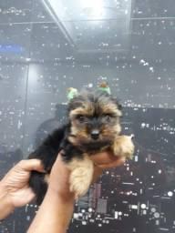 Yorkshire Terrier tamanhos micro e padrão, entrega hoje, chamar no whats