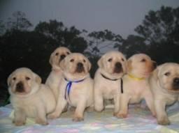 Filhotes de Labrador Champanhe Macho e Fêmea