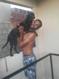 Procurando um namorado labrador