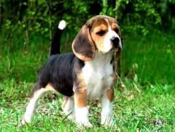 Vendo filhotes de Beagle 13 polegadas com garantia de saúde.