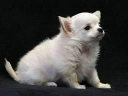 Chihuahua, macho e fêmea com garantias de vida e saúde