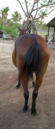 Preço: R$ 4.000 égua cor castanho fechado, sangue Quarto de Milha