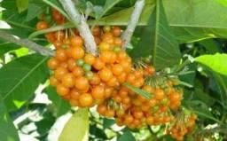 Mudas de Fruta do Sabia