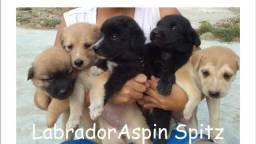 Labrador x dog brasileiro so 100 cada.chama entregamos