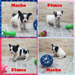 Bulldog Francês machos e fêmeas