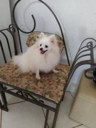 Lindoooo Lulu da Pomerânia