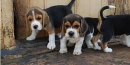 Beagle fêmea a ponta entrega