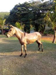 Princesa, a mula marchadeira