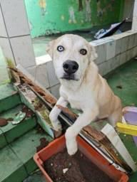 Cão Labrador com Huski