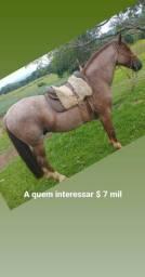 Cavalo puro, lindo
