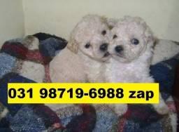 Canil Filhotes Cães Premium BH Poodle Lhasa Yorkshire Shihtzu Basset Maltês Beagle