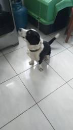 Doa se uma cadela extremamente dócil, motivo espaço pequeno.