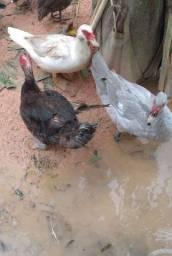 3 lindos patos  saudáveis