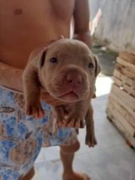 Filhotes de pitbull terrier para reserva.